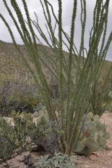 ocotillo at Pima Canyon